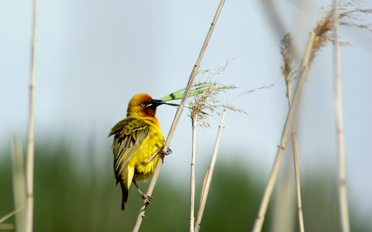 Southern Masked Weaver in Golden Gate Highlands National Park