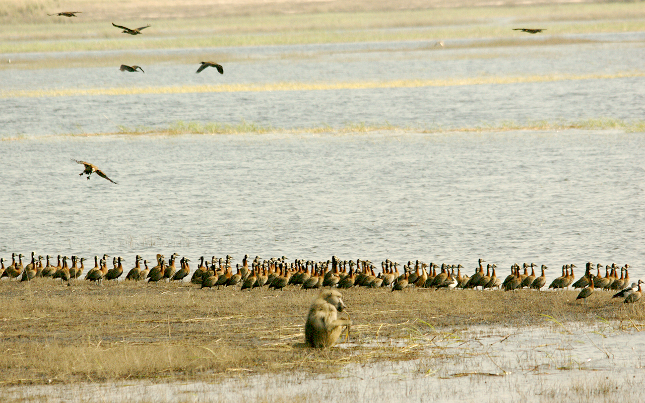 A lonely baboon next to the Chobe River, near a flock of White Faced Whistling Ducks