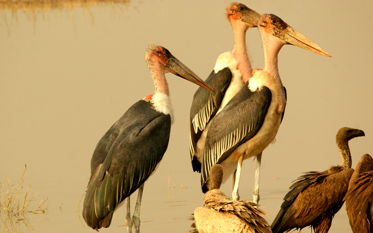 Marabou Stork waiting their turn to eat  at Chobe