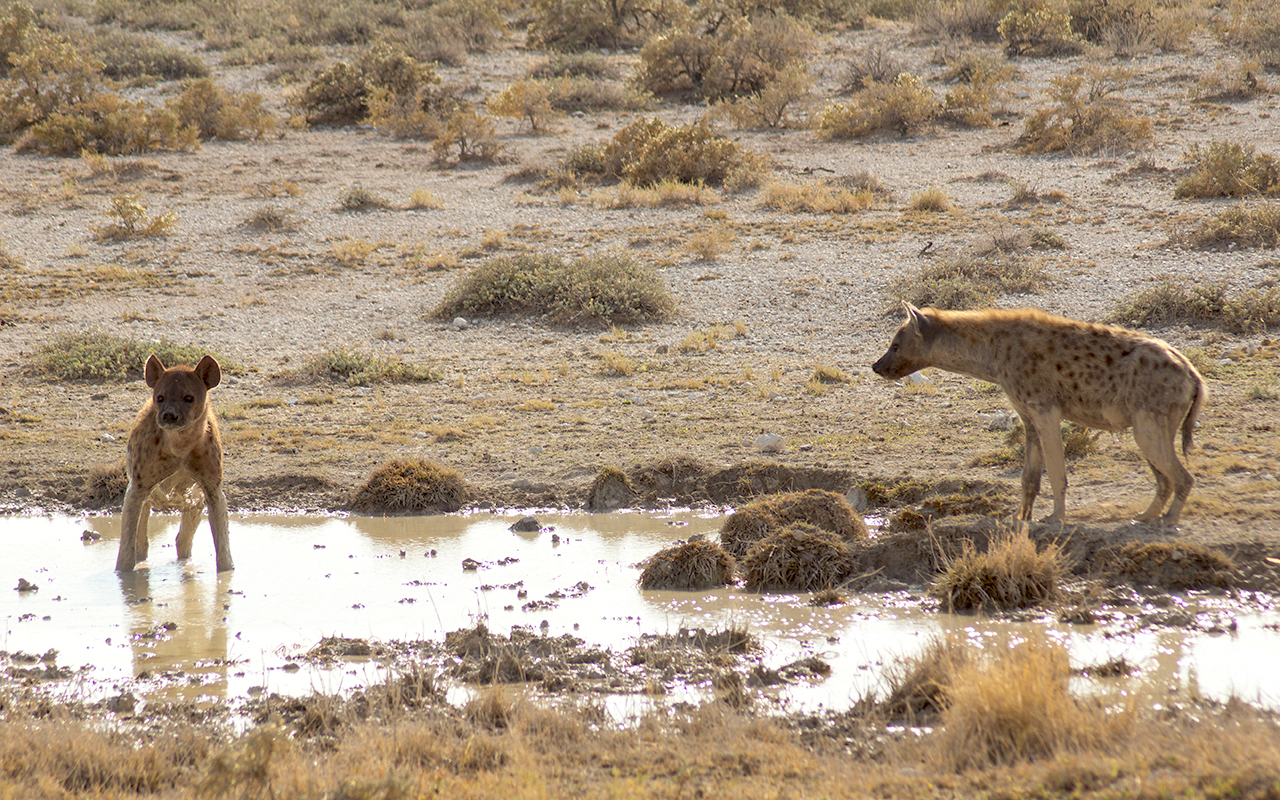 Hyenas cooling off in a small waterhole in Etosha