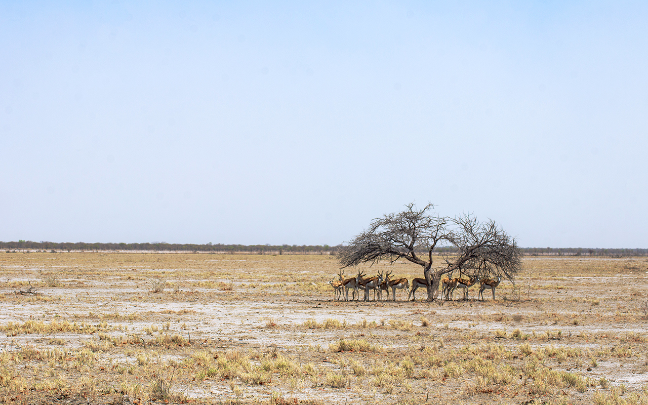Springbok herd taking shelter from the burning sun in Etosha