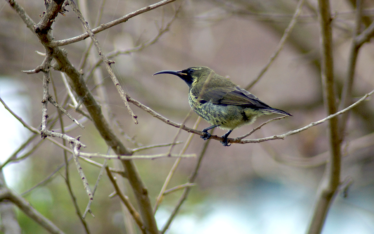 Beautiful young female Amethyst Sunbird in Keurboom, along the Garden Route