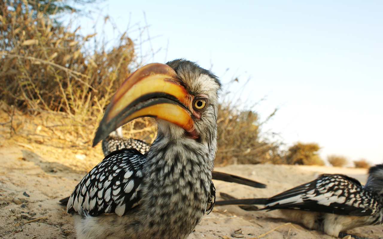An inquisitive Yellow-billed Hornbill at Mabuasehube