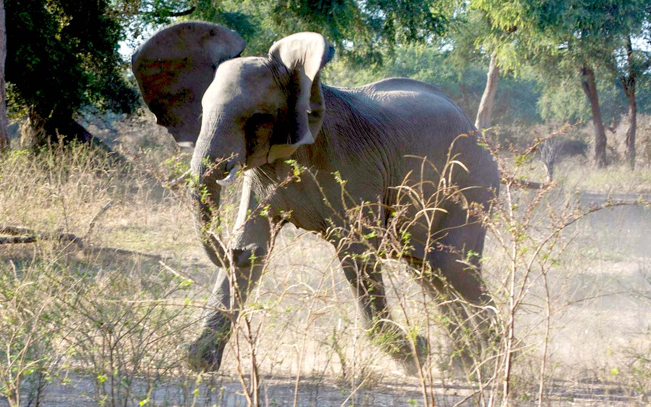 This youngster in musth deciding to chase away the hyenas nearby, Mana Pools