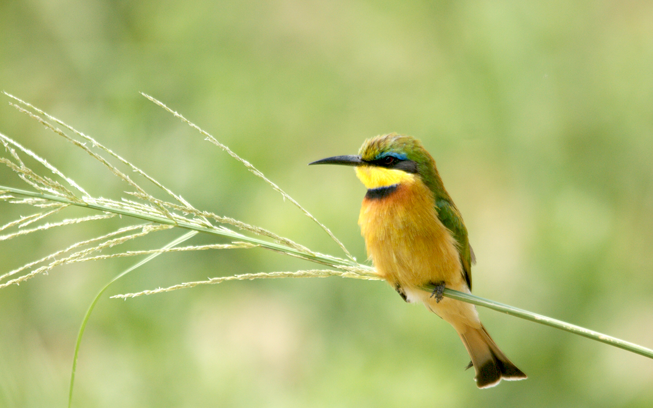 Lone Little Bee-eater at Lake Manyara