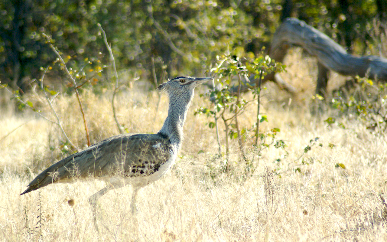 Kori bustard foraging for a nibble at Moremi