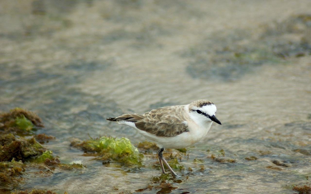 White-fronted Plover searching for a tasty shrimp or some seafood delicacy to eat at Guinjata Bay