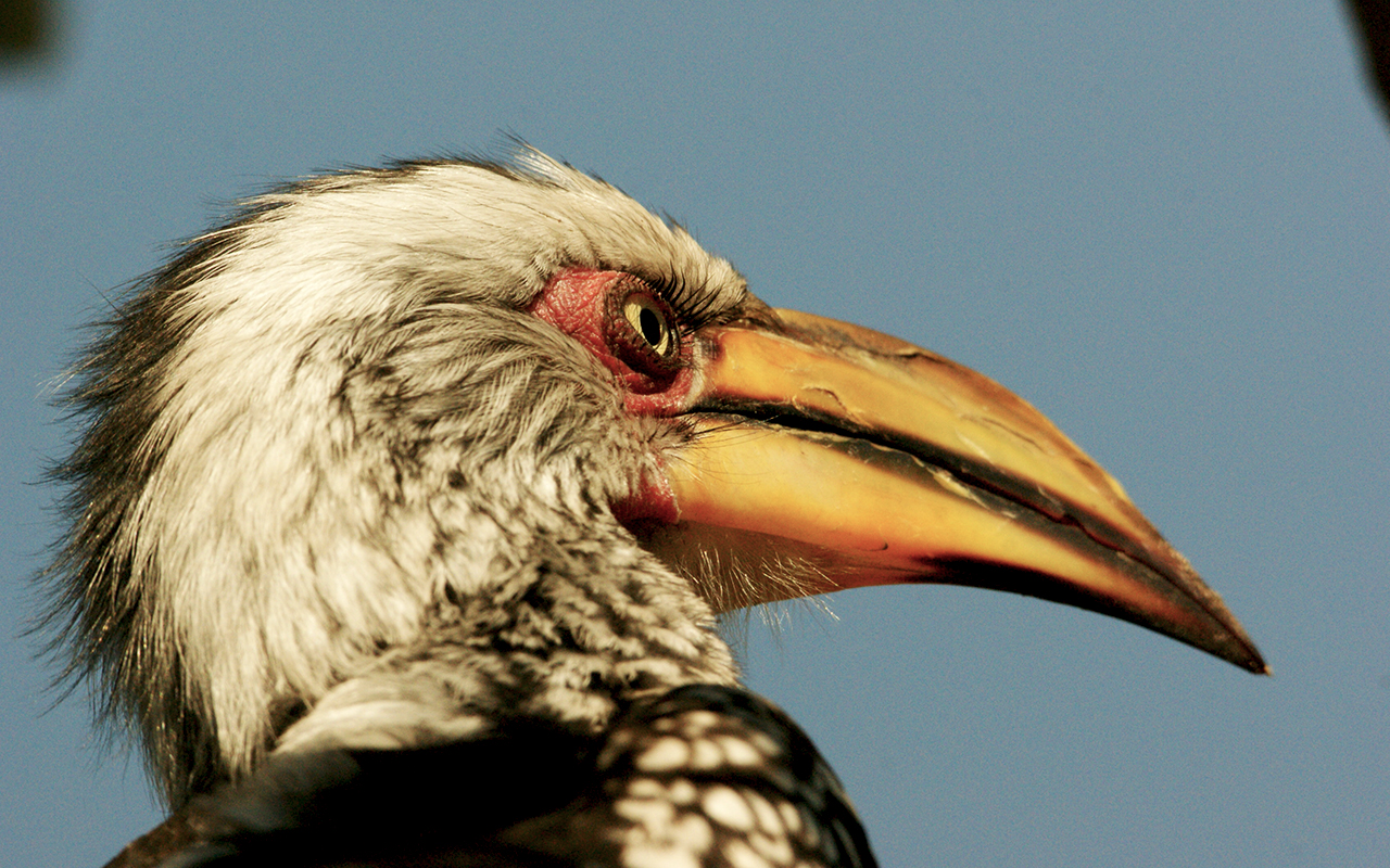 What beautiful eyelashes on this Yellow-billed Hornbill, Savuti