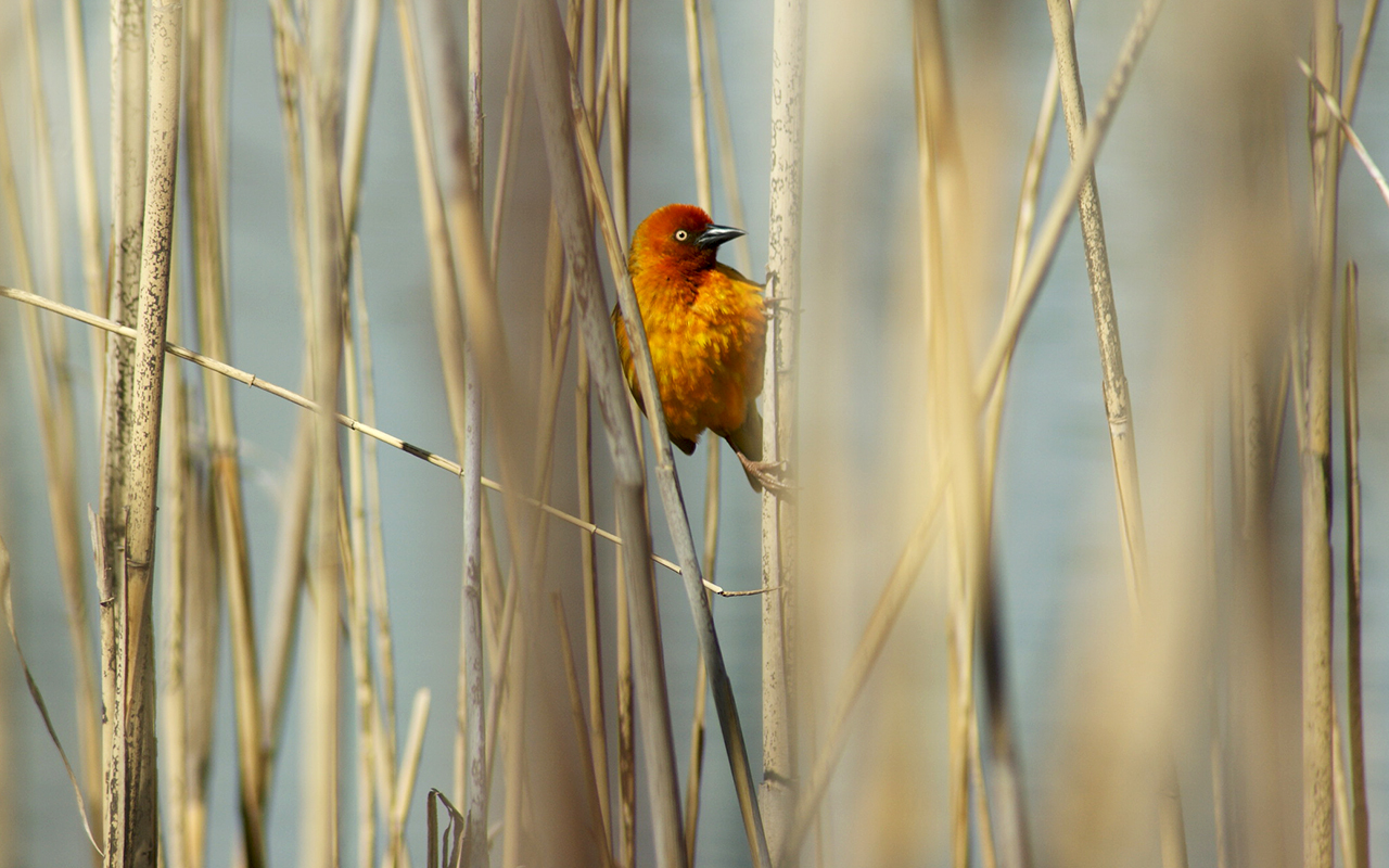 Golden Weaver between the reeds at Golden Gate Highlands National Park