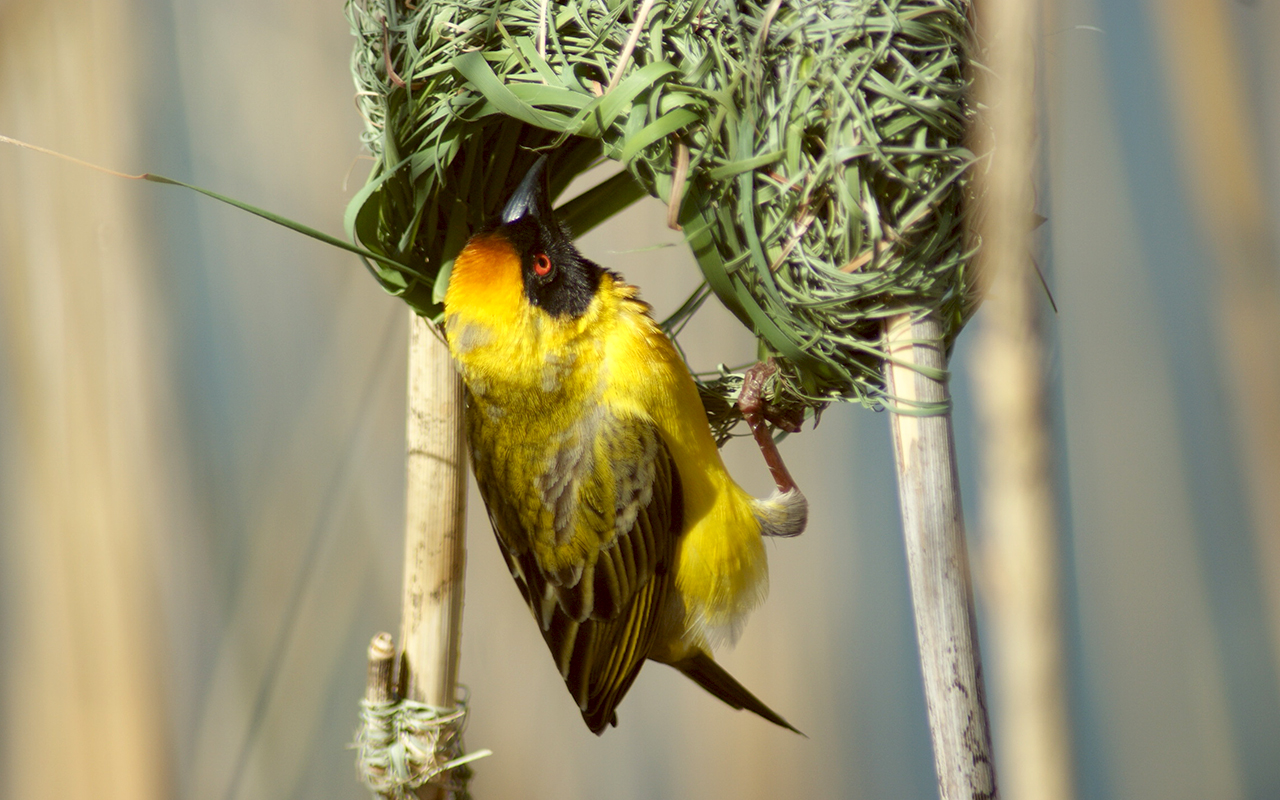 Masked Weaver inspecting his nest for show to his mate-to-be at Golden Gate Highland National Park