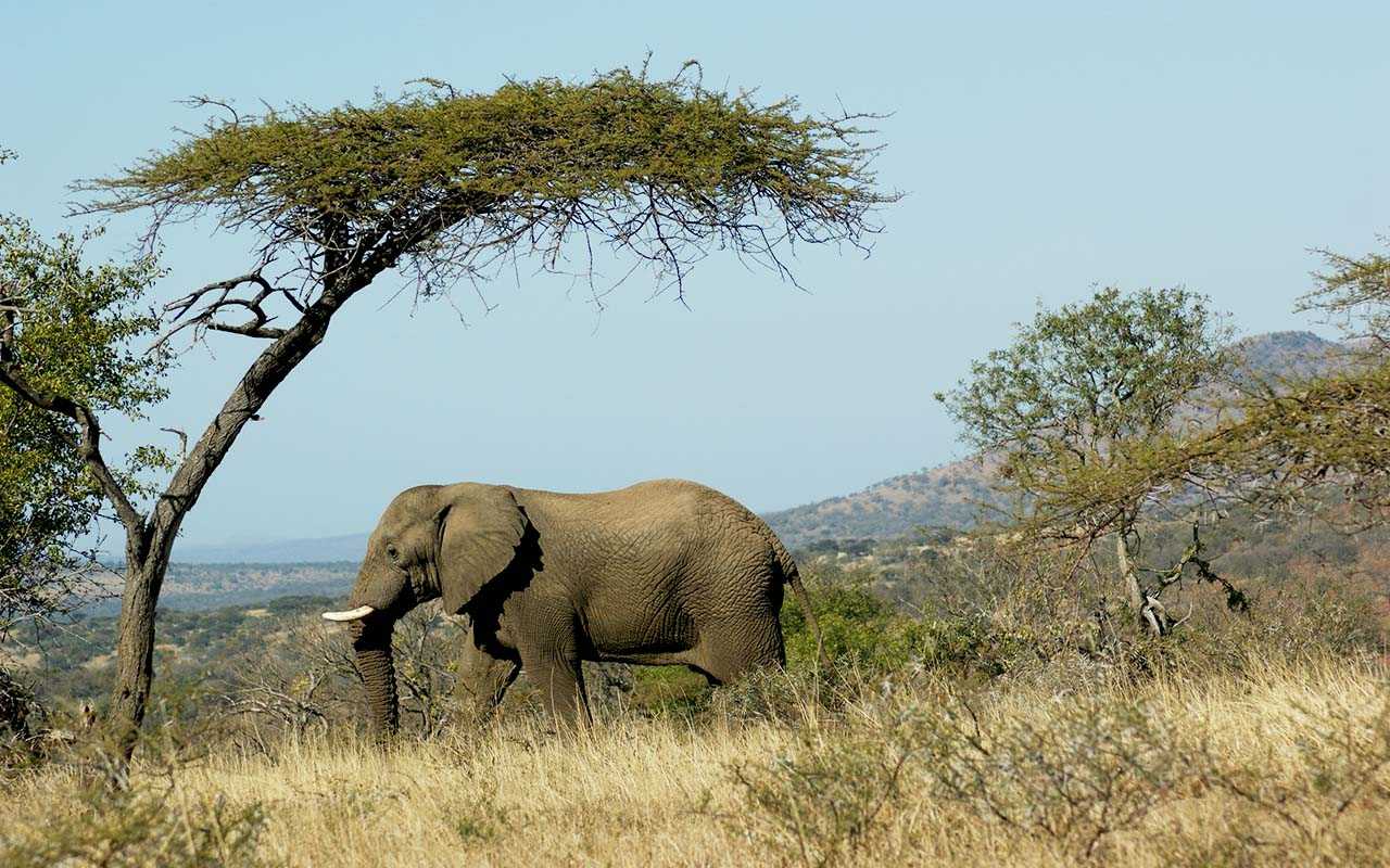 Lone elephant at iMfolozi Game Reserve