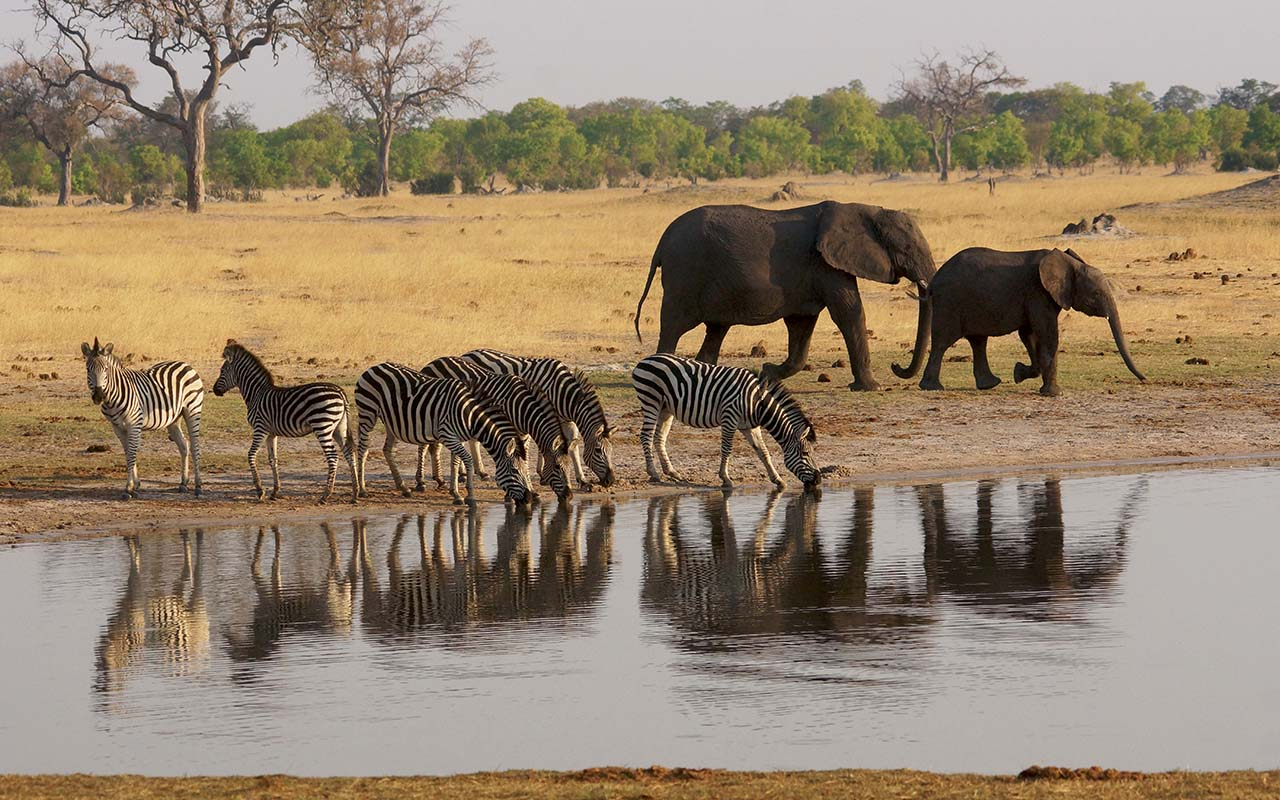 Evening drinks at the waterhole near Ngweshla, Hwange