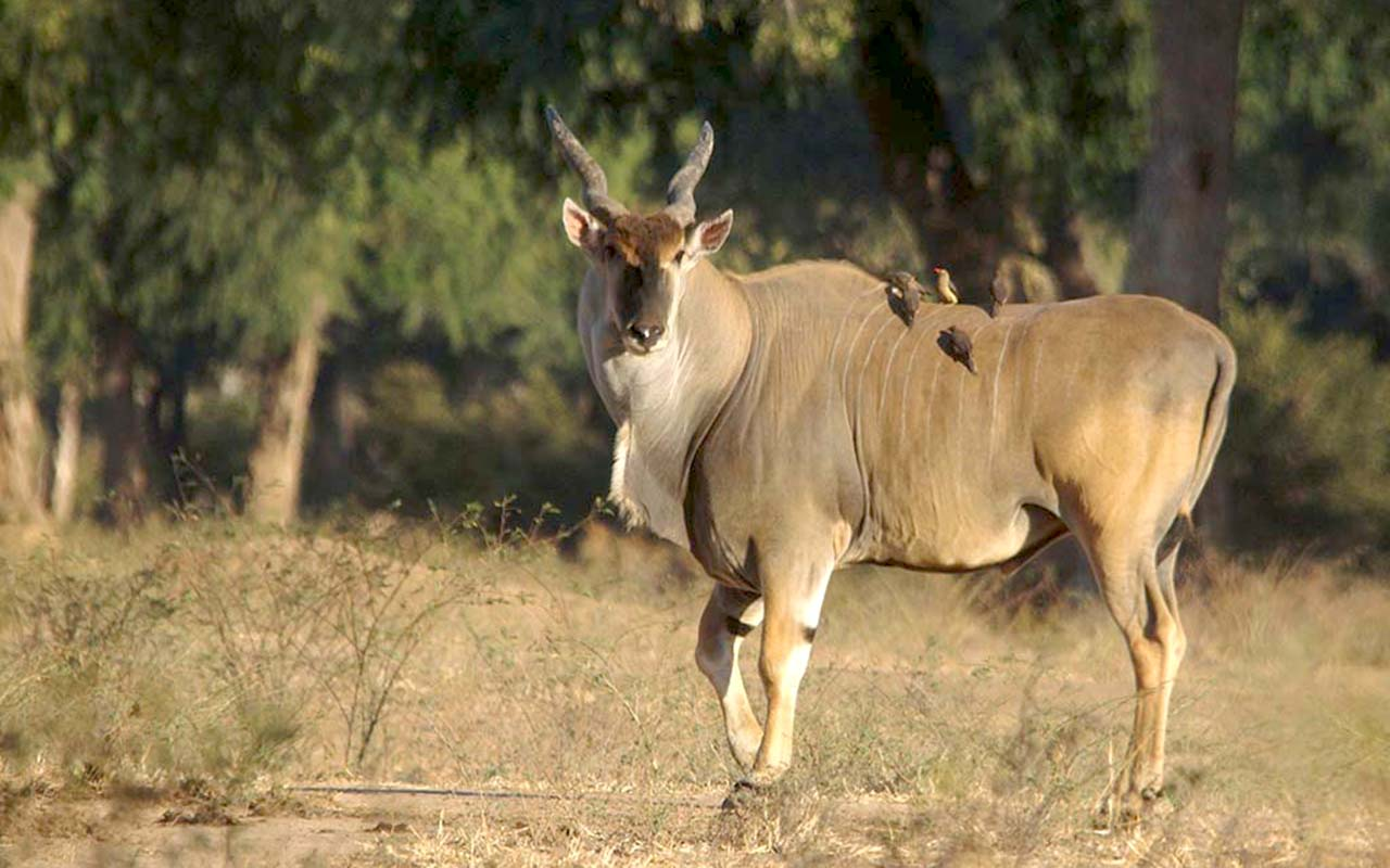 The often under-rated yet magnificent Eland antelope at Mana Pools
